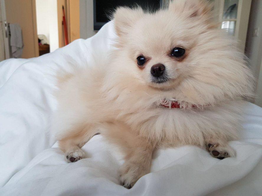 Pomeranian-caring-tips