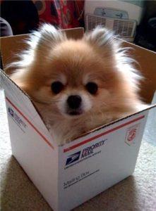 Teacup-Pomeranian-puppy