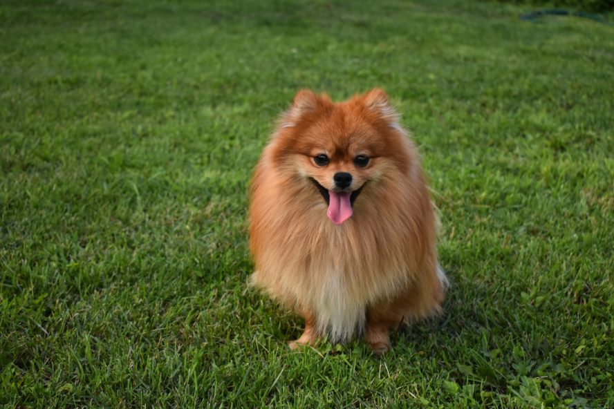 Manage Your Pom S Intensive Shedding