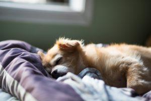 Sleeping-dog-cute-lil-pom