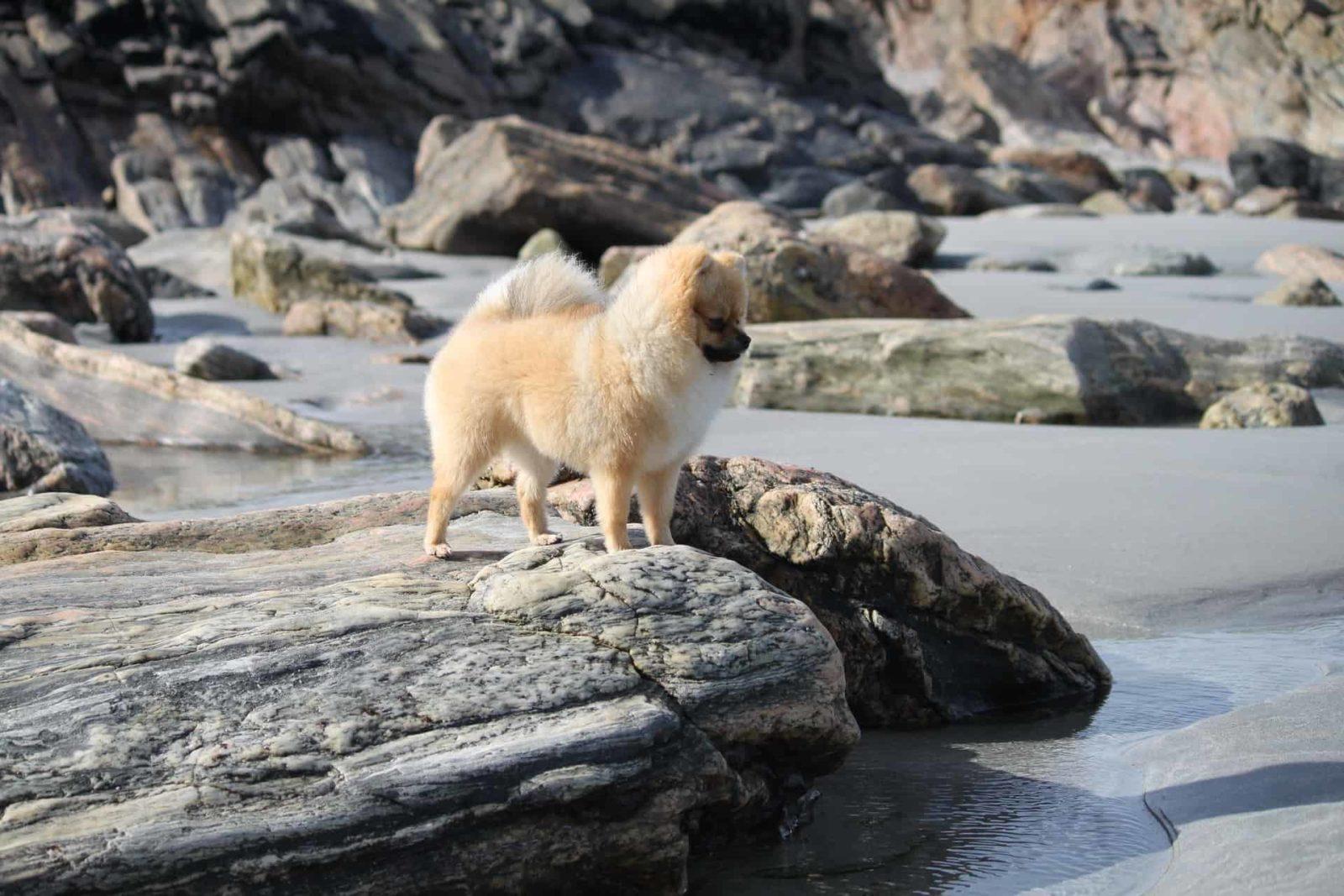 pomeranian on a rock