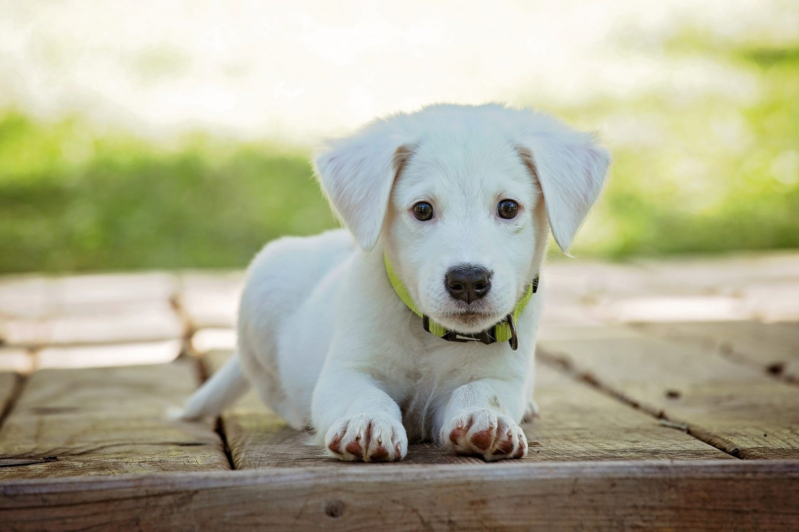 cute-Puppy-my-first-pomeranian-
