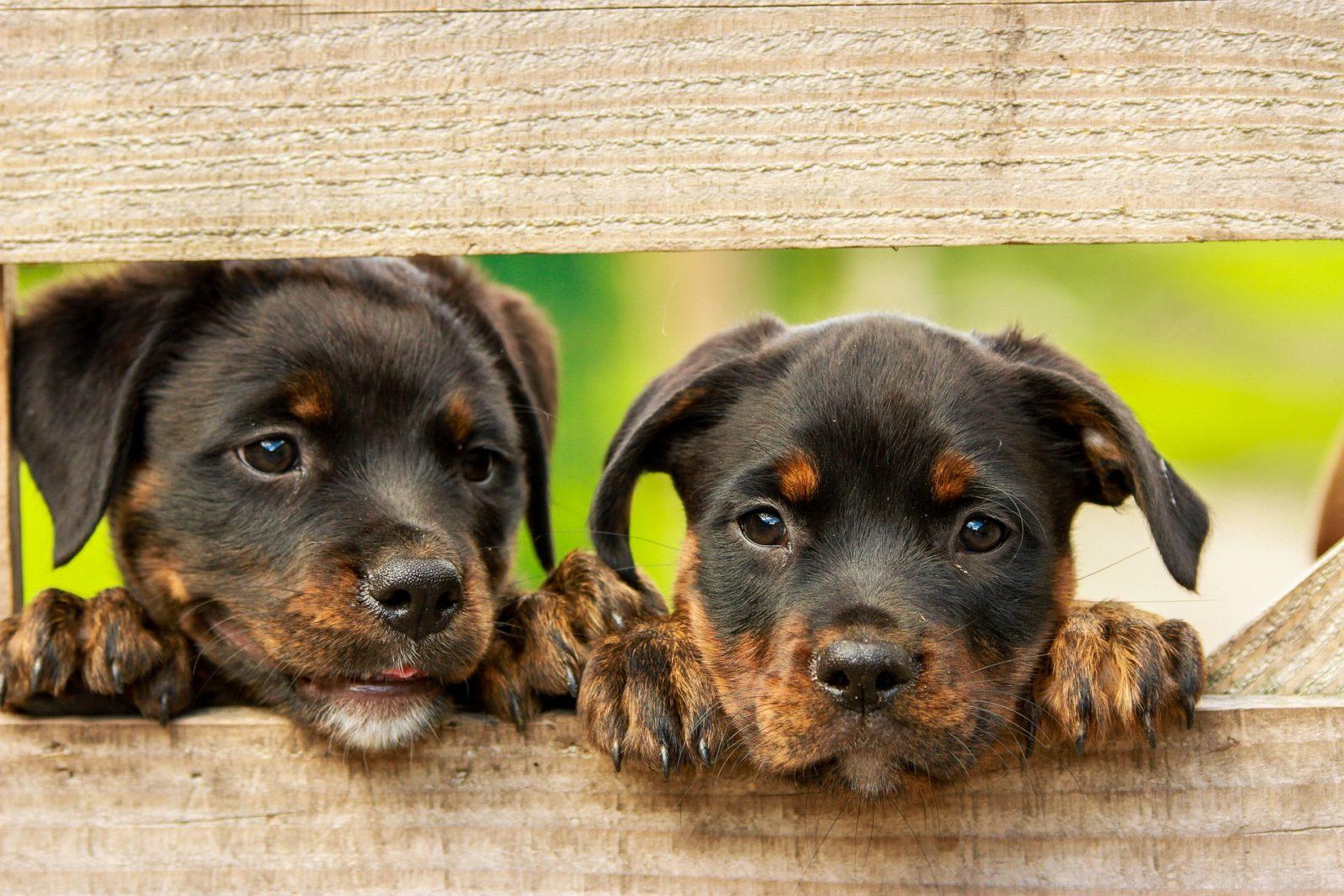 Dog-food-shed-rottweiler-puppy