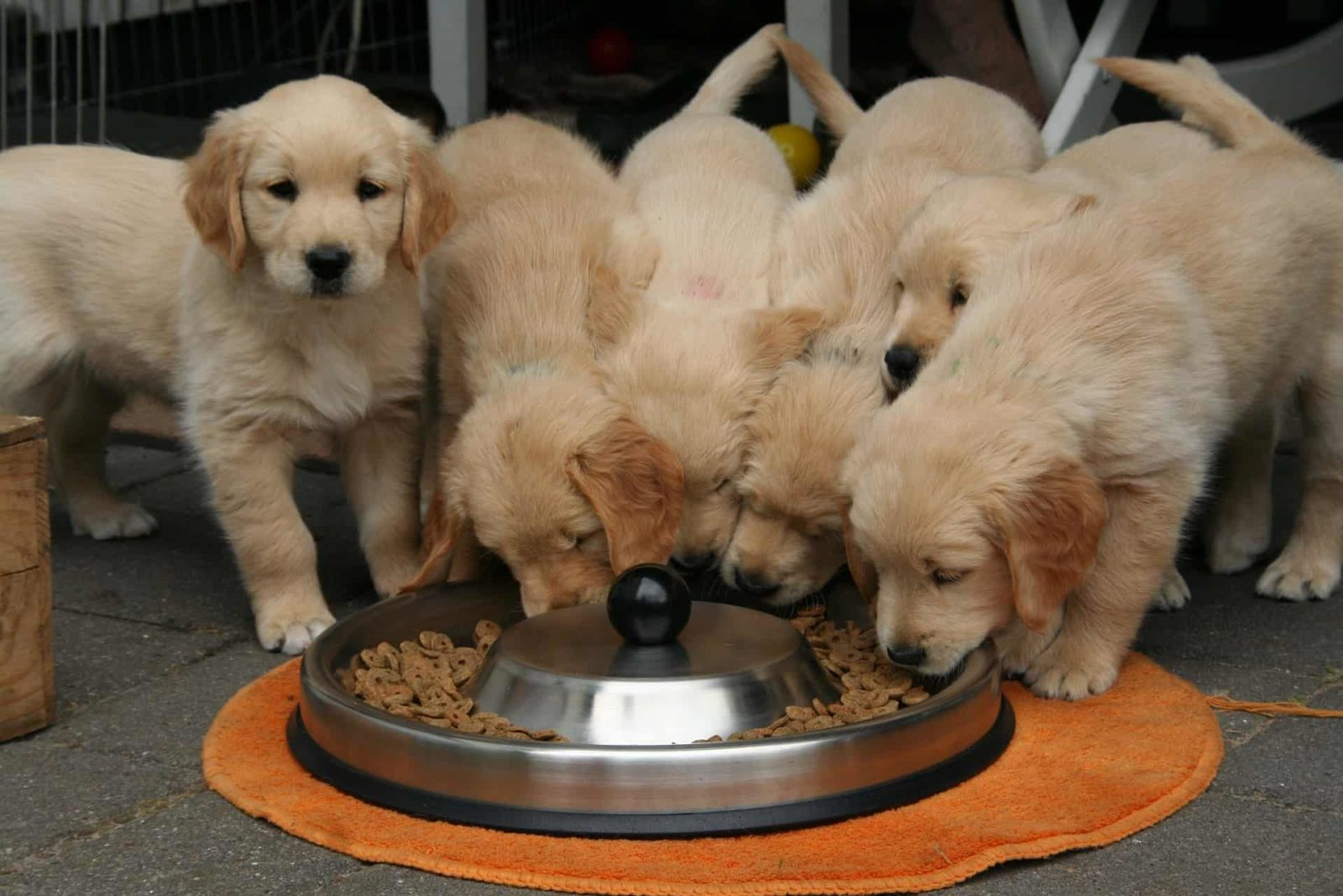 golden-retriever-puppy-eats-dog-diet