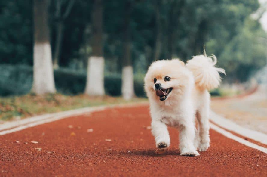 Pomeranian-running
