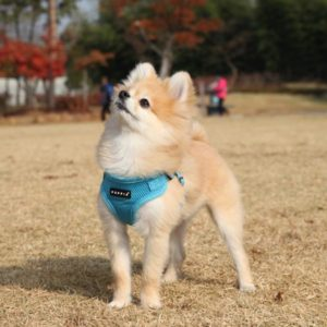 Pomeranian-harness