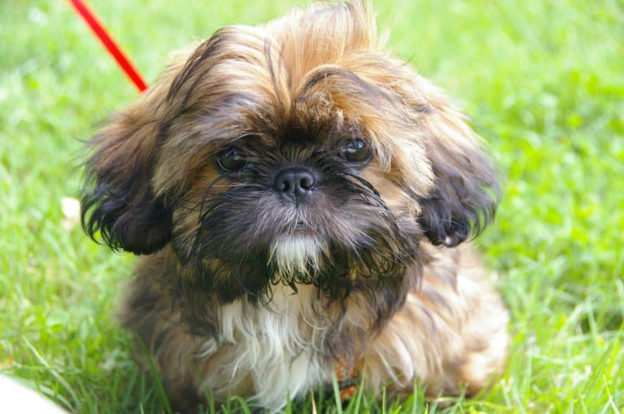 shih-tzu-dog-breed-toy-dog