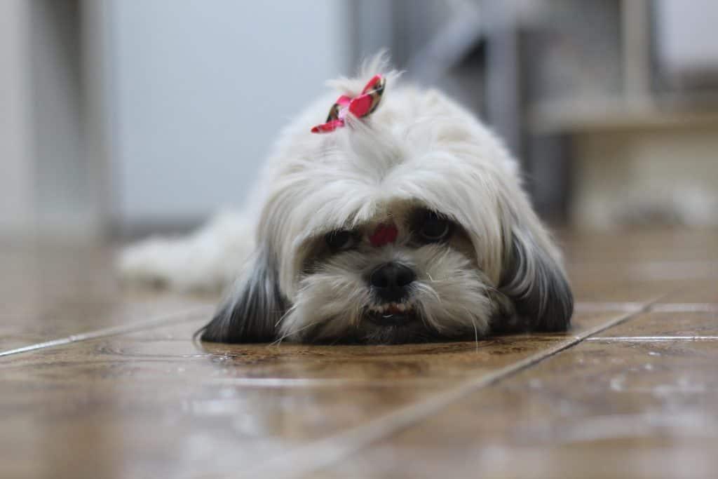 shih-tzu-dog