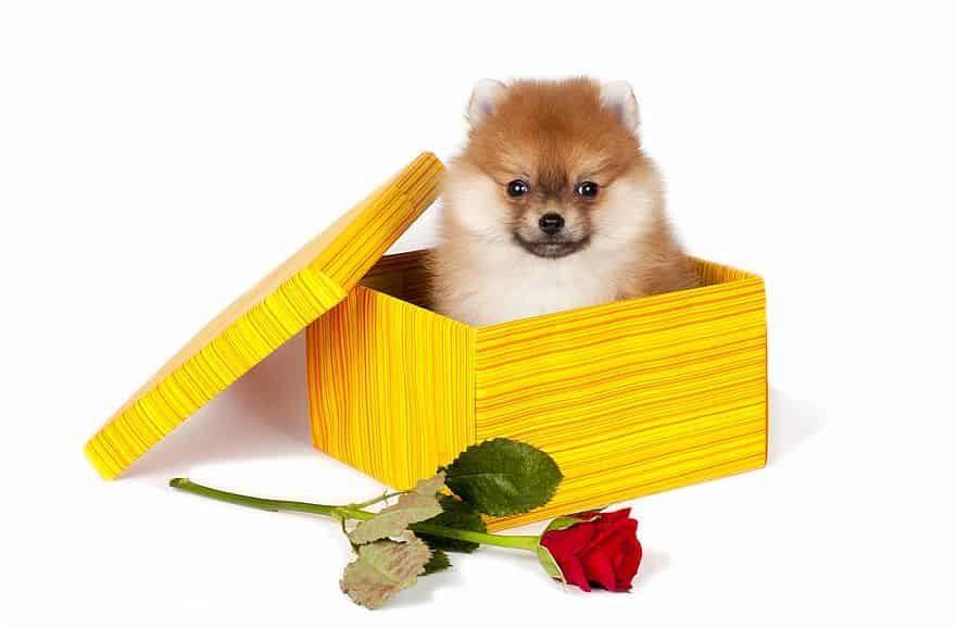 Pomeranian-love-toys