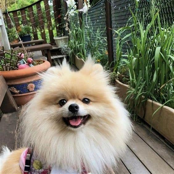 Pomeranian-training