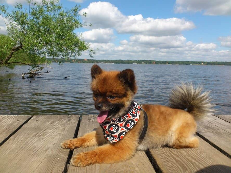 pomeranian-dog-vomitting
