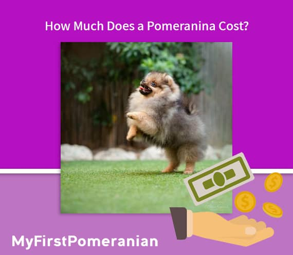 how much does pomeranian cost