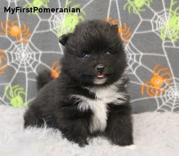 Black-Pomeranian-How-much-Pom-Cost