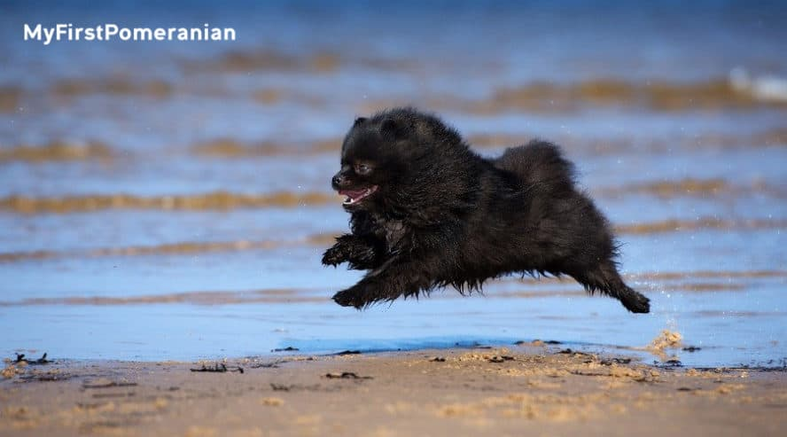 Black-Pomeranian-on-Beach-myfirstpomeranian-expensive