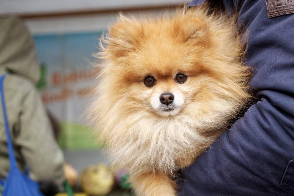Pomeranian-dog-held-by-man